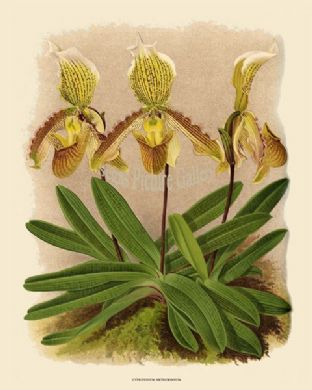 Cypripedium Arthurianum